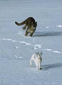 cougar-rabbit-431x300